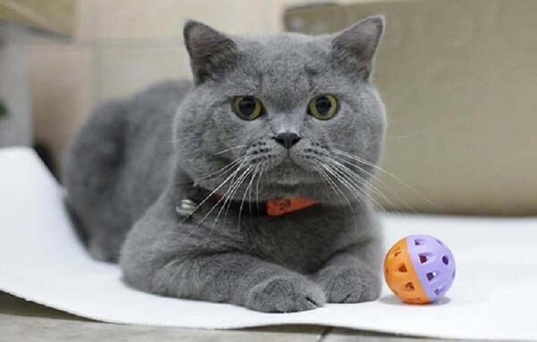 Mèo Anh lông ngắn có ngoại hình dễ thương và đáng yêu