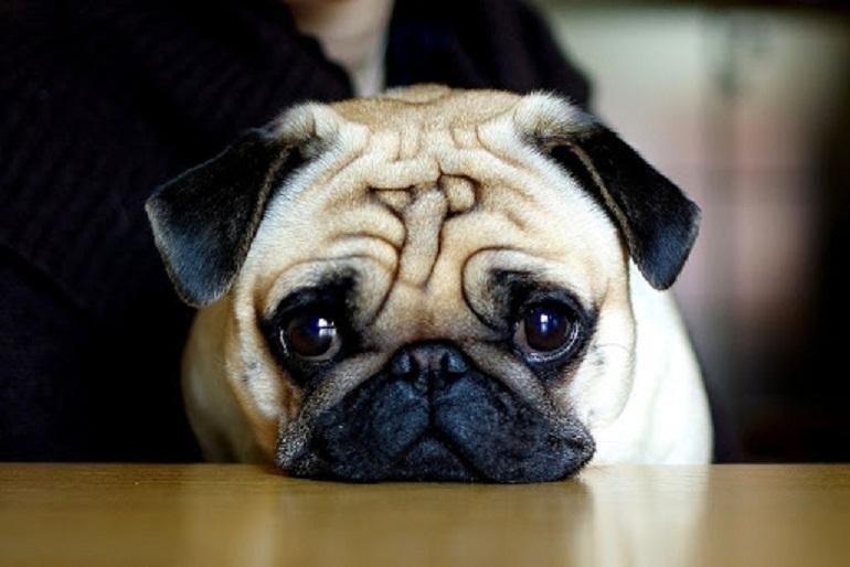 Chế độ ăn uống của chó Pug nên giàu chất đạm