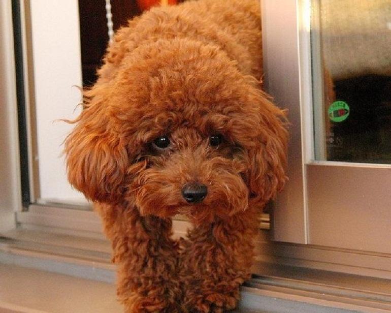 Khẩu phần ăn cho chó Poodle nhỏ trên 6 tháng là 3 bữa/ngày
