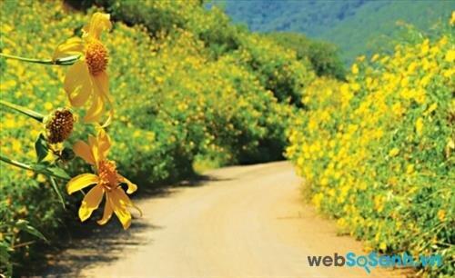 Cuối thu, Đà Lạt rực rỡ sắc hoa dã quỳ trên các ngã đường