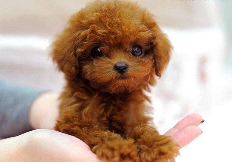 Nên cho chó Poodle ăn 4-5 bữa/ngày