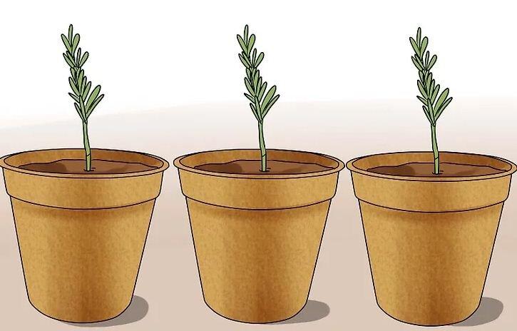 giâm nhánh cây hương thảo vào chậu