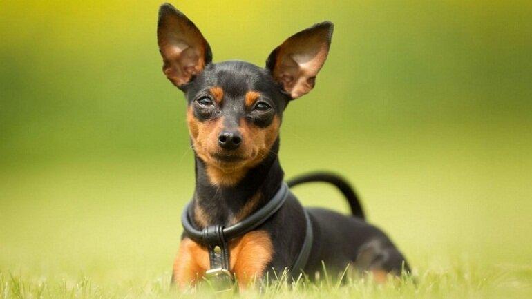 Chó Phốc với ngoại hình nhỏ nhắn dễ thương được nhiều người nuôi làm thú cưng
