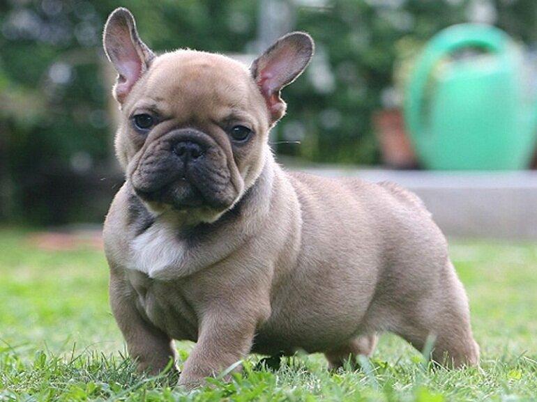 Chó Bull Pháp rất lười vận động nên khi nuôi ở Việt Nam chúng rất dễ bị thừa cân béo phì