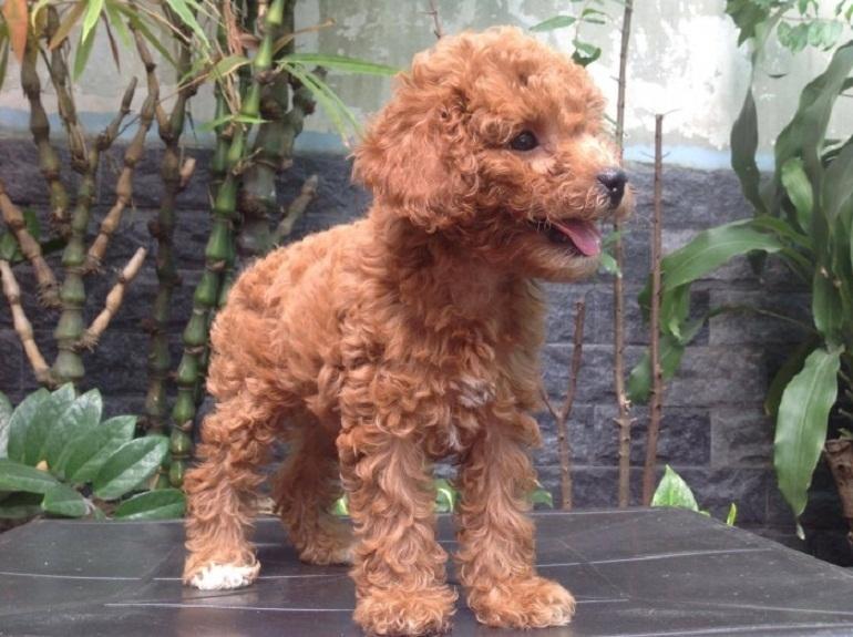 Màu lông nâu đỏ của boss poodle rất dễ bị phai màu, nhạt màu
