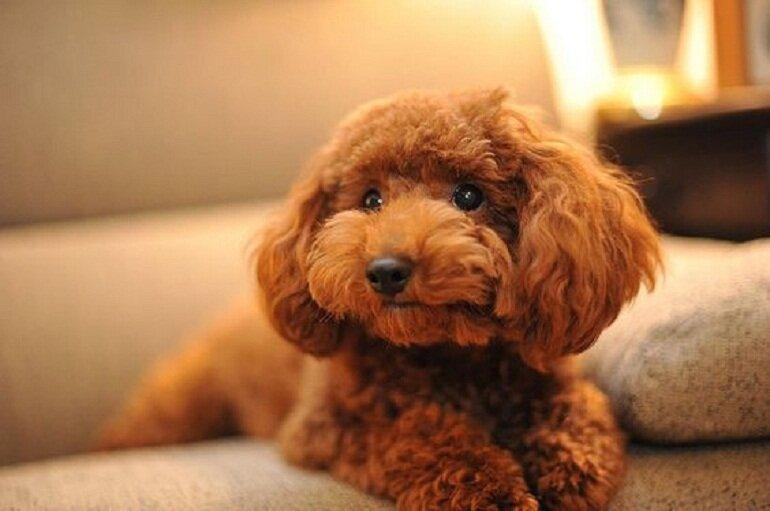 Lông của chó Poodle nâu đỏ rất dễ bị phai màu nếu không chăm sóc đúng cách
