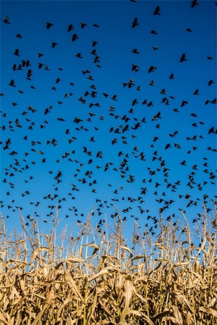 """An aMAZEing sight"". Just as my kids and I were about to make our way through a corn maze a flock of red winged blackbirds took off over the corn field. What a sight! Photo location: Sturgeon Falls, Ontario, Canada. (Photo and caption by Cindy Rossit/National Geographic Photo Contest)"