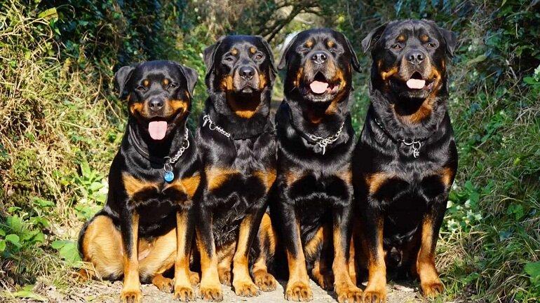Chó Rott có nguồn gốc và xuất xứ ở Đức