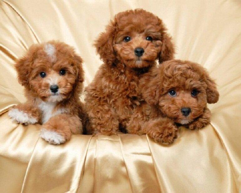 Chó Poodle có bộ lông dài, dày và xoăn rất đặc biệt