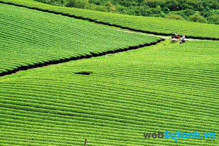 Đồi chè xanh rì thơm ngát tại Yên Bái (ảnh internet)
