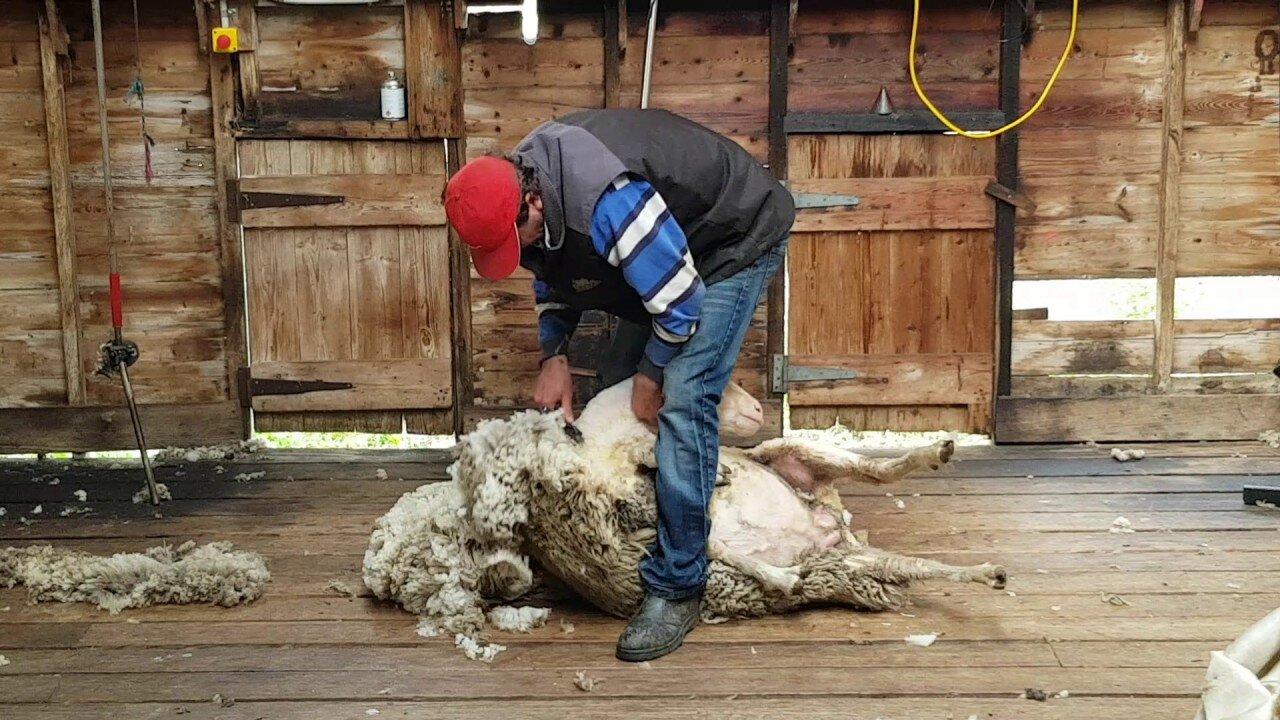 Lông cừu tự nhiên làm chăn là phương pháp giữ ấm vào mùa đông hoàn hảo nhất