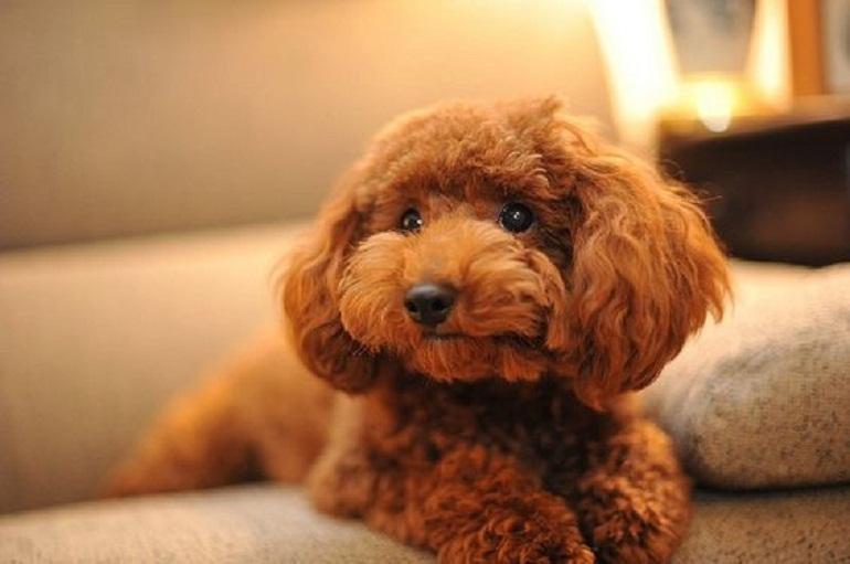 Bộ lông màu nâu của chú chó Poodle rất dễ bị phai màu