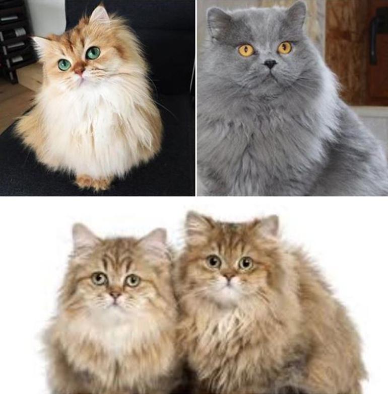 Tính cách của mèo Ald vô cùng thân thiện, gần gũi cùng với vẻ bề ngoài đáng yêu
