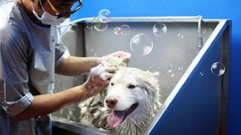 Bất kỳ người nuôi nào cũng muốn chú chó Alaska của mình luôn sạch sẽ và thơm tho