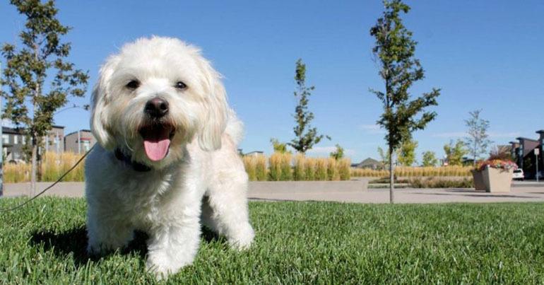 Boss chó Poodle sở hữu bộ lông siêu dài