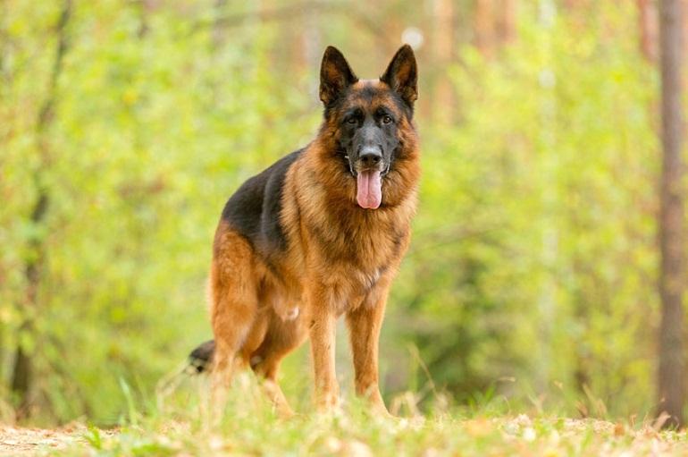 Nguồn gốc của chó becgie Đức là giống chó chuyên dùng để chăn cừu