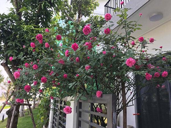 hoa hồng cổ chơi tết 2018