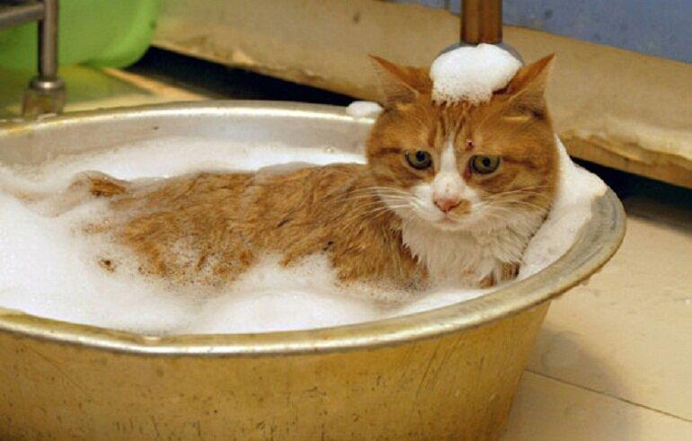 Sữa tắm diệt bọ chét cho mèo là giải pháp hiệu quả và an toàn
