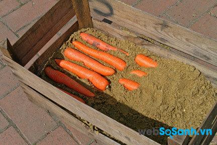 Cà rốt vùi vào cát sẽ tươi lâu hơn, có thể để hàng tháng không bị hỏng