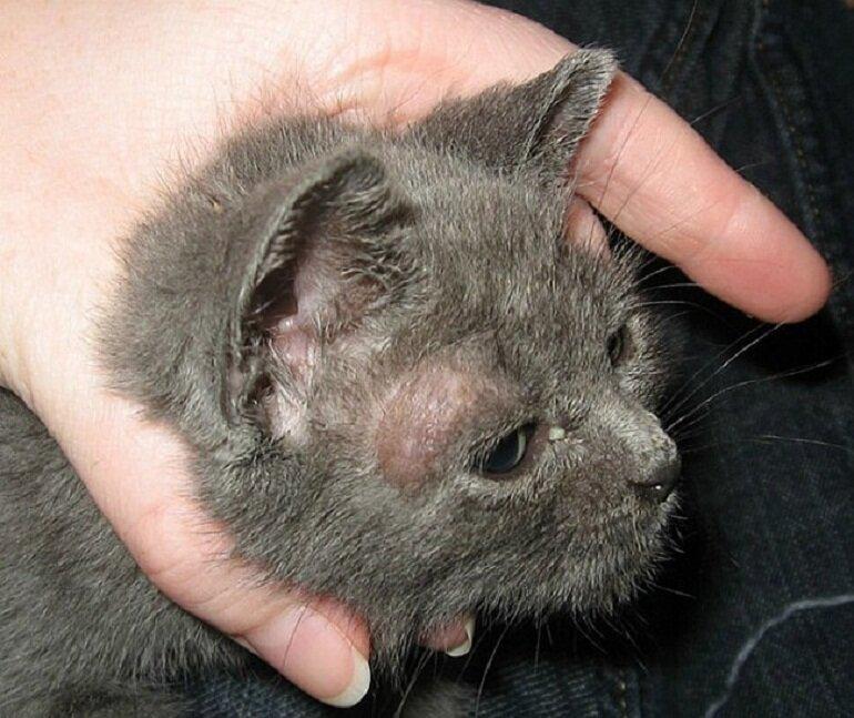 Nấm da là bệnh lý phổ biến và rất thường gặp ở các chú mèo
