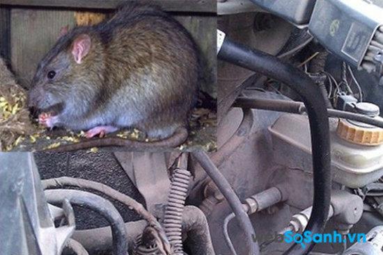 Nhiều trường hợp chuột cắn các dây trong xe máy khiến mạch bị chập cháy và hỏng ắc quy