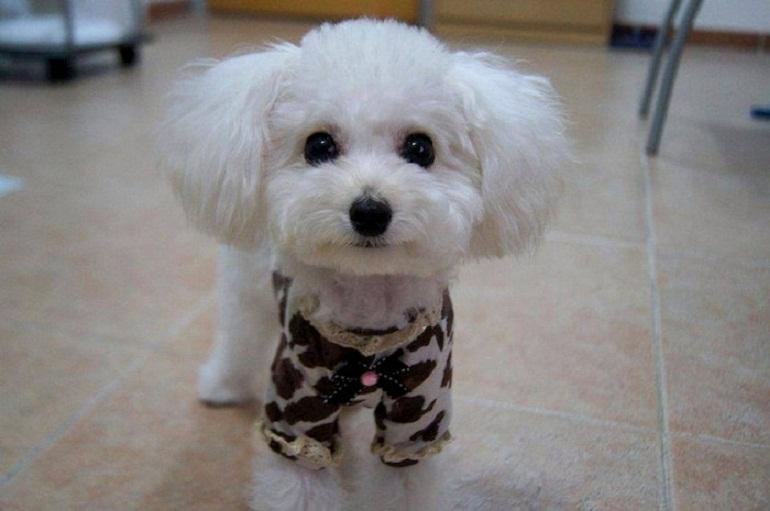 Chó Poodle lông trắng