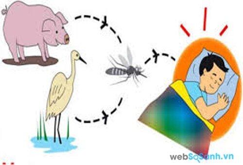 Viêm não Nhật Bản có thể lây từ động vật sang người do muỗi (nguồn: internet)