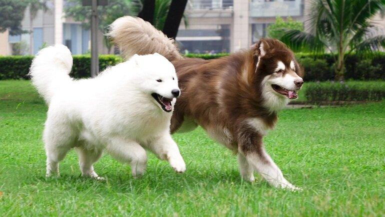 Chó Alaska là giống chó thông minh và nhanh nhẹn, được nuôi nhiều nhất tại Việt Nam hiện nay