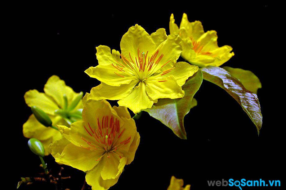 Thường hoa Mai nở cách tết 1 tuần là đẹp nhất