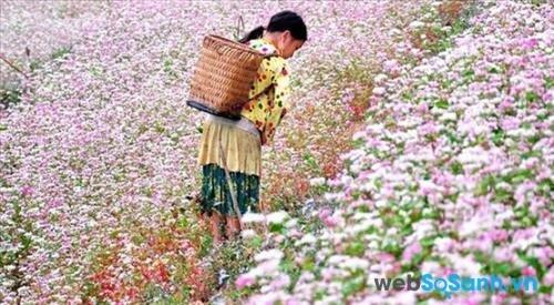 Cả rừng hoa tam giác mạch của người Mông