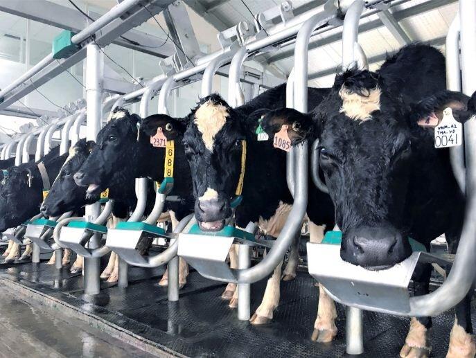 Sữa A2 làdòng sữa cao cấp được lấy từ giống bò sữa