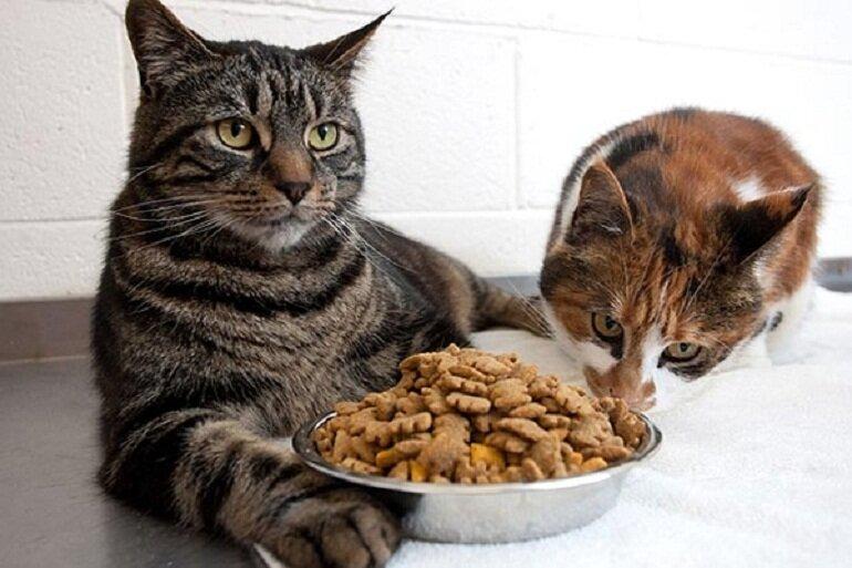 Thức ăn khô được nhiều người nuôi mèo lựa chọn
