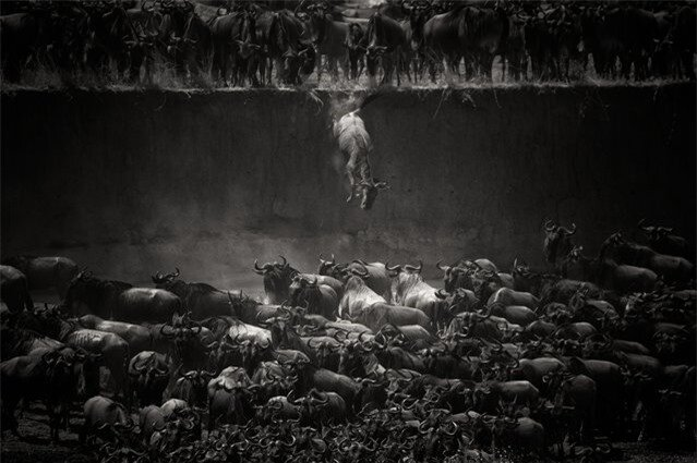 """The great migration"". Jump of the wildebeest at the Mara river. Photo location: North Serengeti, Tanzania. (Photo and caption by Nicole Cambré/National Geographic Photo Contest)"