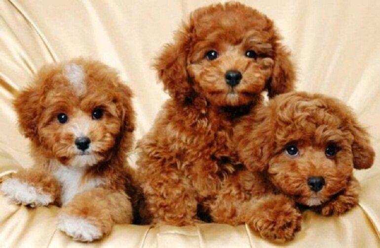 Chó Poodle có ngoại hình dễ thương nên được nhiều người nuôi làm thú cưng