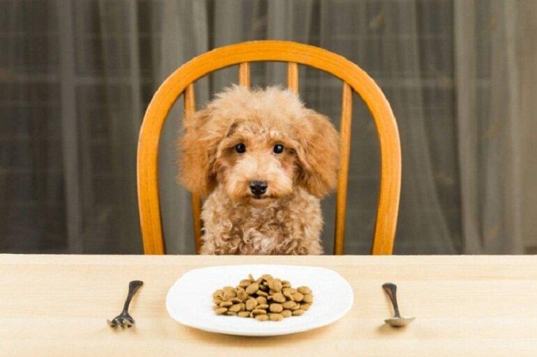 Poodle nhỏ từ 3 đến 6 tháng có thể ăn thịt, cá, tôm, rau, củ, nội tạng động vật