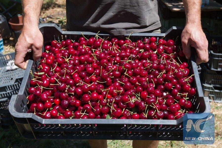 Cherry nhập khẩu mua ở đâu đảm bảo chất lượng là điều nhiều người tiêu dùng băn khoăn hiện nay