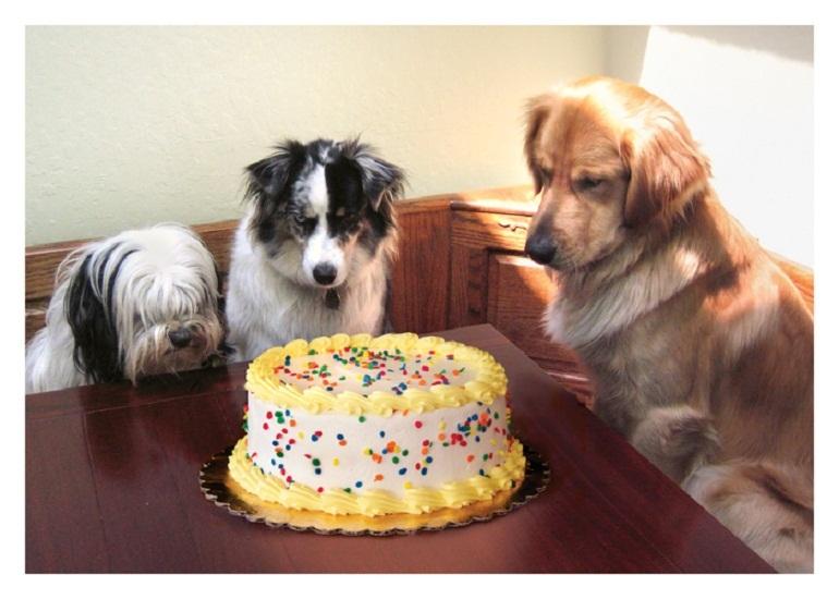 Không nên cho boss Poodle nhỏ ăn bánh kẹo, socola