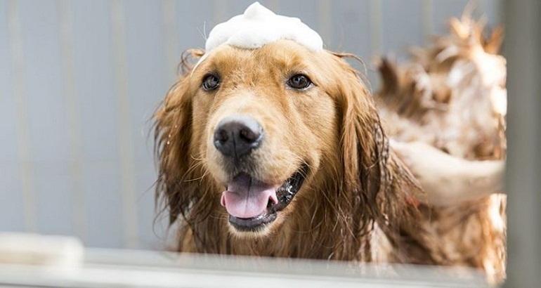 Tắm gội cho boss chó luôn sạch sẽ và thơm mát là công việc quan trọng