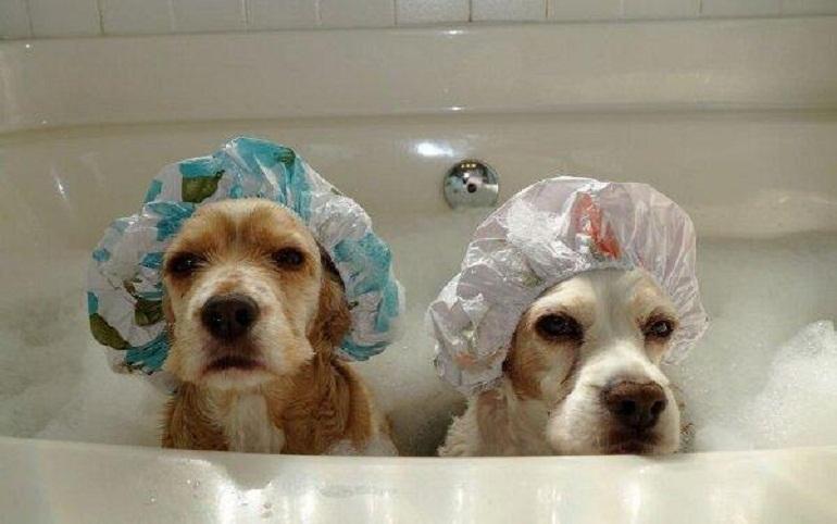 Nên thường xuyên tắm rửa cho các boss chó với loại sữa tắm phù hợp để phòng ngừa viêm da