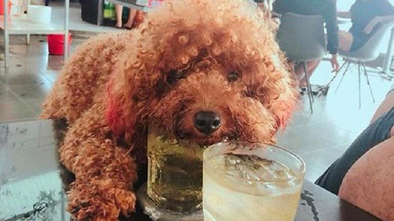 Đừng quên cho Poodle nhỏ uống nước