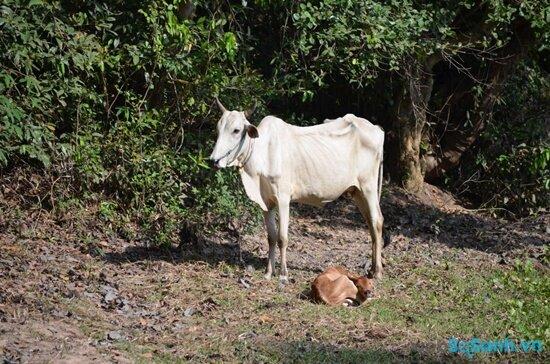 Bệnh sốt Rift Valley chủ yếu ảnh hưởng đến động vật (nguồn: internet)