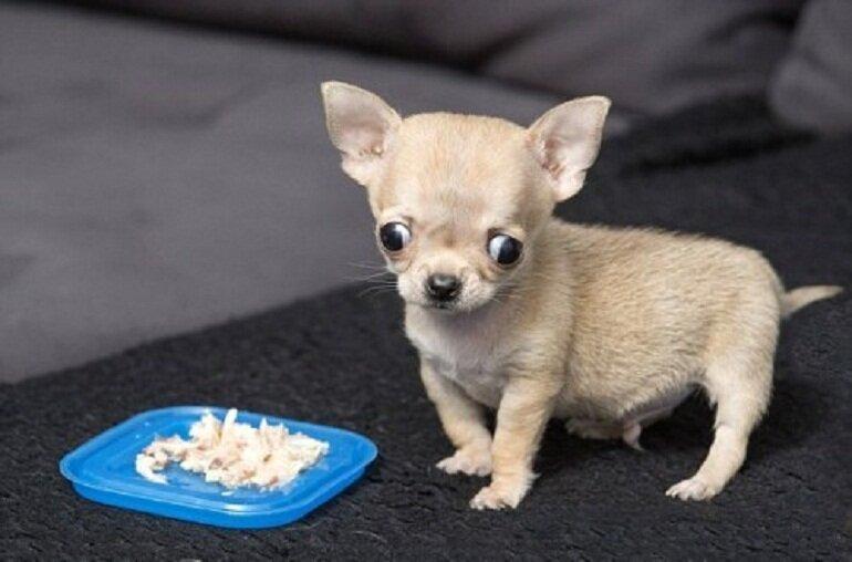 Chó Chihuahua cần cung cấp nhiều chất đạm thông qua các loại thịt