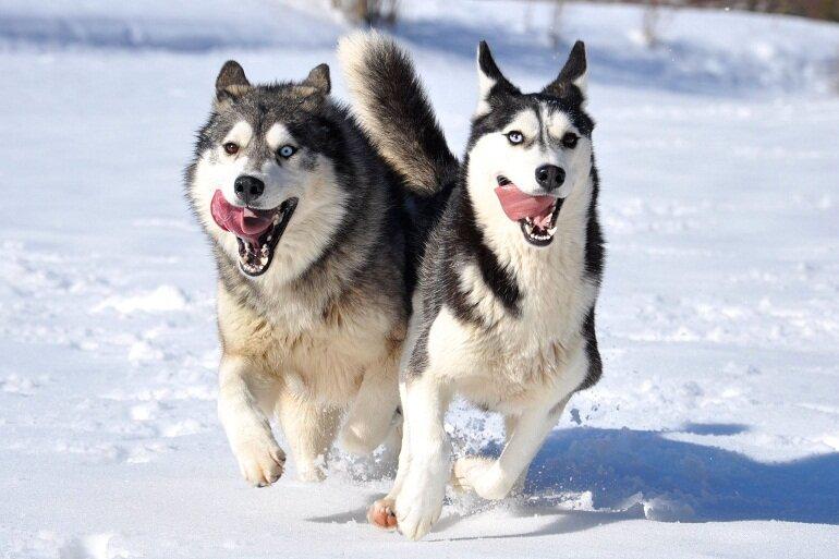 Husky là giống chó kéo xe bền bỉ và mạnh mẽ nhất, có xuất xứ từ Nga