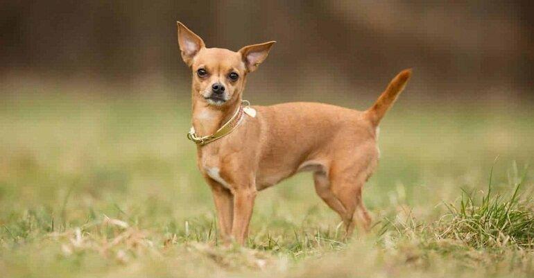 Chó Chihuahua có xuất xứ từ Mexico và là giống chó cảnh siêu tí hon siêu đáng yêu
