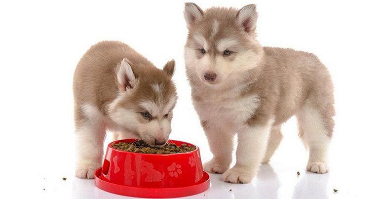 Cần ngâm thức ăn khô với nước cho mềm ra trước khi cho chó con ăn