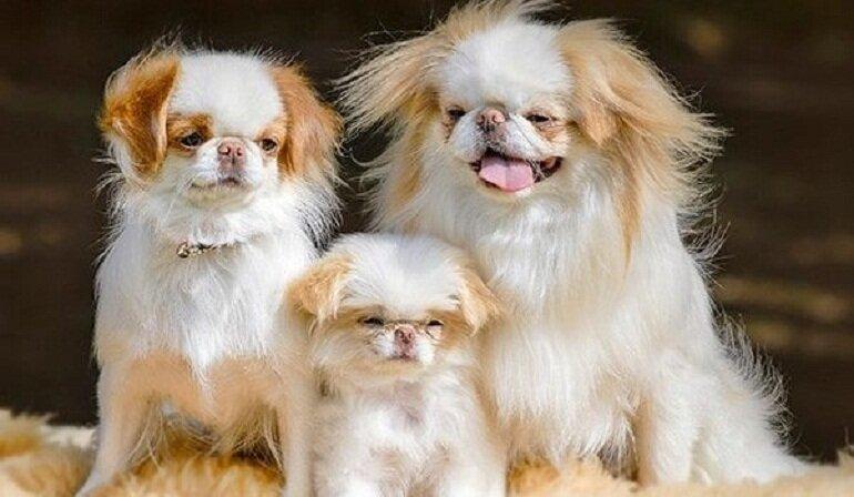 Chú chó Nhật với bộ lông xù đáng yêu cùng tính cách hoạt bát, thông minh