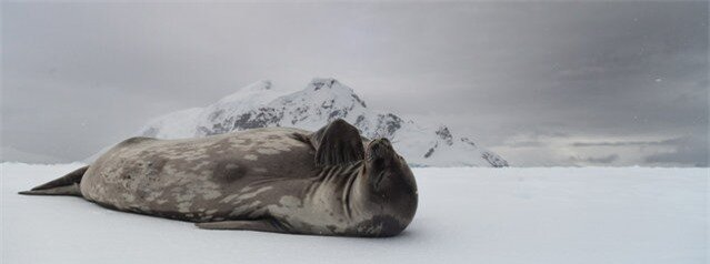 """Pondering Weddell"". This Weddell Seal had hauled its self out onto a snowy ice shelf in the Antarctic Peninsula. At first it was fast asleep, but after some patient waiting it began to wake up. Upon waking the seal inquisitively scratched and popped its head up to get a better look at who I was and what i was doing. In this shot it appears to be placing its flipper towards its chin, as if in deep thought. Photo location: Antarctic Peninsula. (Photo and caption by Kristian Parton/National Geographic Photo Contest)"
