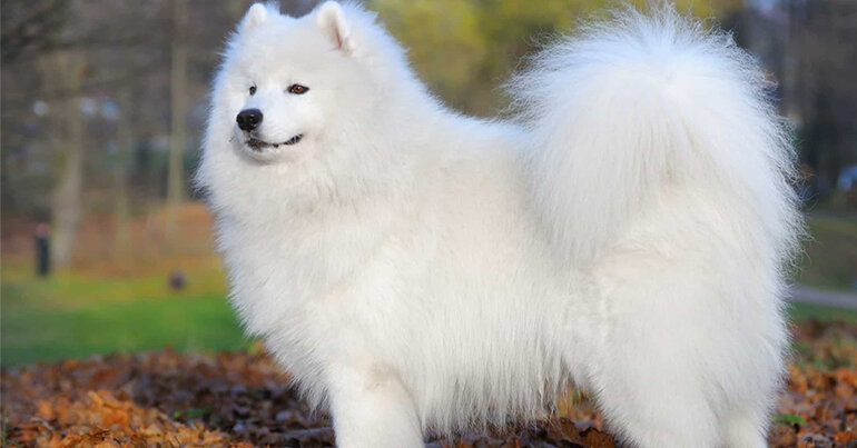 Chó lông trắng vô cùng đáng yêu
