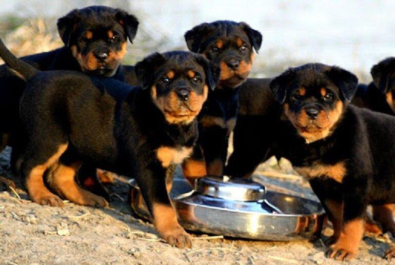 Mỗi chú chó becgie Đức ở từng độ tuổi khác nhau sẽ có khẩu phần ăn hàng ngày khác nhau