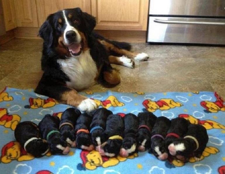 Chó mẹ đang nuôi con nên ăn gì để nhiều sữa là băn khoăn của nhiều người nuôi
